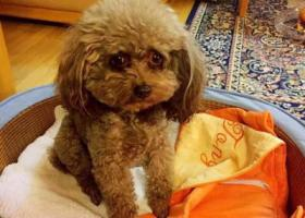 寻狗启示,北京海淀区巨山路酬谢一万元寻找泰迪,它是一只非常可爱的宠物狗狗,希望它早日回家,不要变成流浪狗。