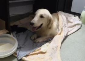 寻狗启示,寻找真正狗主人金毛 在线等,它是一只非常可爱的宠物狗狗,希望它早日回家,不要变成流浪狗。