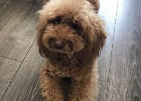 寻狗启示,寻狗(棕色泰迪犬):东方花园走失,它是一只非常可爱的宠物狗狗,希望它早日回家,不要变成流浪狗。
