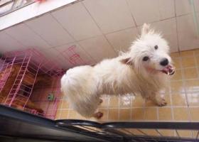 寻狗启示,爱犬萨摩耶丢失急急急急。,它是一只非常可爱的宠物狗狗,希望它早日回家,不要变成流浪狗。