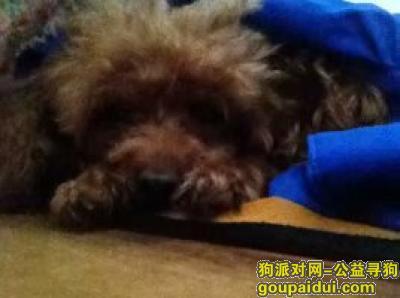 滁州寻狗,丢失了一只泰迪狗看到的一定要联系我们,它是一只非常可爱的宠物狗狗,希望它早日回家,不要变成流浪狗。
