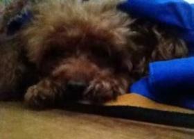 寻狗启示,丢失了一只泰迪狗看到的一定要联系我们,它是一只非常可爱的宠物狗狗,希望它早日回家,不要变成流浪狗。