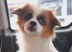 寻狗启示,北栅阳光公园附近走失蝴蝶犬一只,它是一只非常可爱的宠物狗狗,希望它早日回家,不要变成流浪狗。