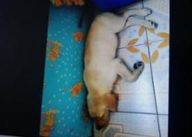 寻狗启示,12斤左右拉布拉多,8月14日义乌后宅寺前村附近遗失,它是一只非常可爱的宠物狗狗,希望它早日回家,不要变成流浪狗。