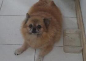 寻狗启示,寻找爱犬。老龄犬~~博美杂交土狗的,它是一只非常可爱的宠物狗狗,希望它早日回家,不要变成流浪狗。