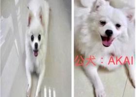 寻狗启示,我的孙女和孙子在福田区 上梅林新村    梅村路   蜀都缘火锅附近不见了,它是一只非常可爱的宠物狗狗,希望它早日回家,不要变成流浪狗。