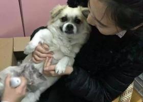 天津寻找爱犬钱钱(红桥区水木天成)