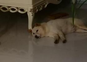有偿寻狗,求好心人找回找回,白色柴犬
