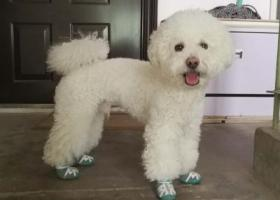 寻找北京朝阳区团结湖走失的白色泰迪犬