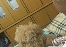 寻狗启示,急!!!狗儿今天早上6点走掉,力扬西西附近.(中型泰迪狗),它是一只非常可爱的宠物狗狗,希望它早日回家,不要变成流浪狗。