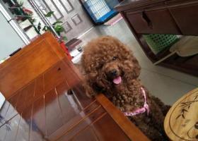 寻狗启示,泰迪狗狗跑丢了,捡到送还必有重谢,它是一只非常可爱的宠物狗狗,希望它早日回家,不要变成流浪狗。