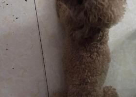 寻狗启示,昨天早上有个泰迪狗(小七)在杨家坪404附近走不在了.,它是一只非常可爱的宠物狗狗,希望它早日回家,不要变成流浪狗。