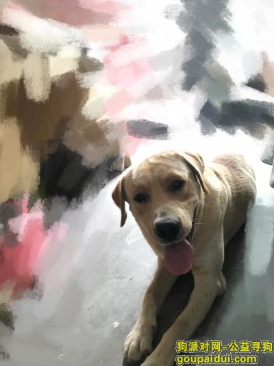 宁波寻狗主人,拉布拉多犬,寻找主人,它是一只非常可爱的宠物狗狗,希望它早日回家,不要变成流浪狗。