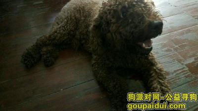 ,谁家的泰迪丢失了,好可爱的狗狗,急找狗主人,它是一只非常可爱的宠物狗狗,希望它早日回家,不要变成流浪狗。