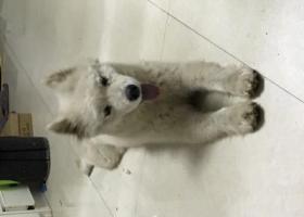 寻狗启示,长沙雨花都市兰亭捡到一只萨摩耶,它是一只非常可爱的宠物狗狗,希望它早日回家,不要变成流浪狗。