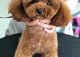 寻狗启示,福州寻找丢失一岁棕红色贵宾弟弟,它是一只非常可爱的宠物狗狗,希望它早日回家,不要变成流浪狗。