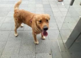 寻狗启示,8.17晚十一点左右在栗庙新村广场·附近捡到一只金毛,它是一只非常可爱的宠物狗狗,希望它早日回家,不要变成流浪狗。
