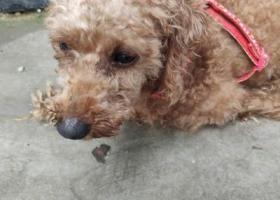 寻狗启示,小贵宾一只…很听话,红色牵引绳,它是一只非常可爱的宠物狗狗,希望它早日回家,不要变成流浪狗。
