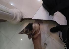 寻狗启示,陈家坪捡到的狗子,快领走,它是一只非常可爱的宠物狗狗,希望它早日回家,不要变成流浪狗。