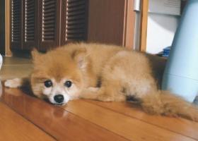 寻狗启示,上海浦东——德平路张杨路捡到博美一条,它是一只非常可爱的宠物狗狗,希望它早日回家,不要变成流浪狗。