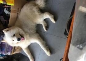 寻狗启示,8月16号下午五点左右遗失萨摩耶一只,它是一只非常可爱的宠物狗狗,希望它早日回家,不要变成流浪狗。