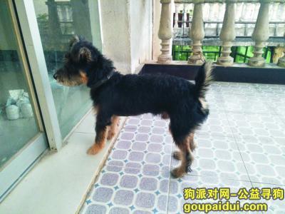 九江寻狗主人,武宁九岭大道捡到雪纳瑞一只,它是一只非常可爱的宠物狗狗,希望它早日回家,不要变成流浪狗。