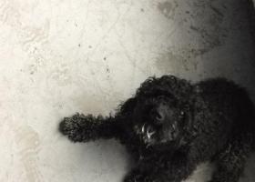 寻狗启示,黑色的,像泰迪犬,很听话,它是一只非常可爱的宠物狗狗,希望它早日回家,不要变成流浪狗。