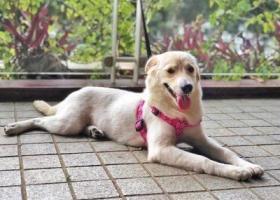 寻狗启示,广州沙涌A口酬谢两千元寻找金毛串串,它是一只非常可爱的宠物狗狗,希望它早日回家,不要变成流浪狗。