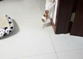 寻狗启示,吉娃娃丢失,求帮忙找回,它是一只非常可爱的宠物狗狗,希望它早日回家,不要变成流浪狗。