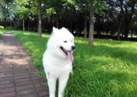 寻狗启示,在顺义石园北区丢失萨摩耶公狗,它是一只非常可爱的宠物狗狗,希望它早日回家,不要变成流浪狗。