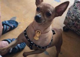 寻狗启示,无锡锡山区东湖塘寻找小鹿犬,它是一只非常可爱的宠物狗狗,希望它早日回家,不要变成流浪狗。