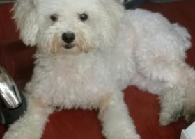 寻狗启示,白色泰迪狗狗,华电小路附近捡到,它是一只非常可爱的宠物狗狗,希望它早日回家,不要变成流浪狗。
