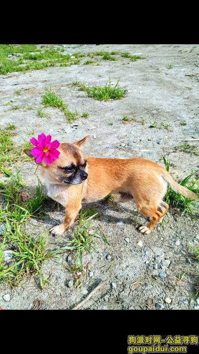 漯河寻狗网,河南人在青岛旅游丢失吉娃娃,需要你们帮助,它是一只非常可爱的宠物狗狗,希望它早日回家,不要变成流浪狗。