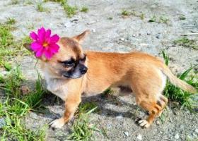 寻狗启示,河南人在青岛旅游丢失吉娃娃,需要你们帮助,它是一只非常可爱的宠物狗狗,希望它早日回家,不要变成流浪狗。
