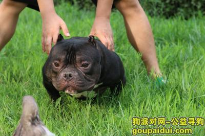 可爱狗狗,美国恶霸犬对外出售,微体,它是一只非常可爱的宠物狗狗,希望它早日回家,不要变成流浪狗。