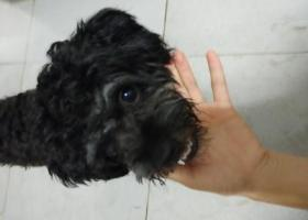 寻狗启示,番禺石碁一只走失的黑色狗狗雪瑞寻找主人,它是一只非常可爱的宠物狗狗,希望它早日回家,不要变成流浪狗。