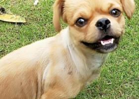 寻狗启示,麻烦好心人  帮我找下我家狗狗  有酬谢  真的非常感谢  急急急,它是一只非常可爱的宠物狗狗,希望它早日回家,不要变成流浪狗。
