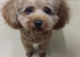 寻爱狗。棕色毛发小泰迪