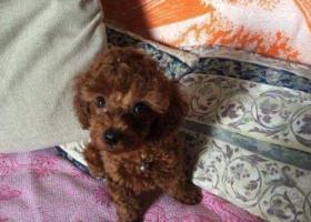 寻狗启示,免费送泰迪宝宝,找个有爱心的人领养,它是一只非常可爱的宠物狗狗,希望它早日回家,不要变成流浪狗。