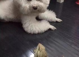 寻狗启示,重金寻狗(蜀汉路欧尚附近丢失),它是一只非常可爱的宠物狗狗,希望它早日回家,不要变成流浪狗。