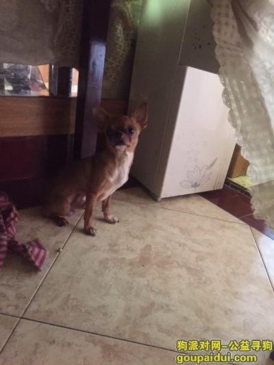 无锡捡到狗,无锡古罗马捡到吉娃娃一只,它是一只非常可爱的宠物狗狗,希望它早日回家,不要变成流浪狗。