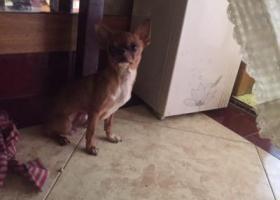 寻狗启示,无锡古罗马捡到吉娃娃一只,它是一只非常可爱的宠物狗狗,希望它早日回家,不要变成流浪狗。