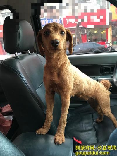 寻狗启示,陕西合阳洽川景区丢失一岁棕色母泰迪,它是一只非常可爱的宠物狗狗,希望它早日回家,不要变成流浪狗。