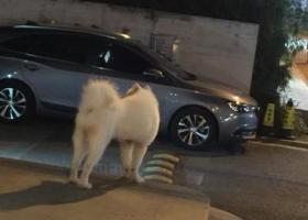 寻狗启示,上海北新泾地铁站5号口一只走丢的萨摩耶,在找主人,它是一只非常可爱的宠物狗狗,希望它早日回家,不要变成流浪狗。