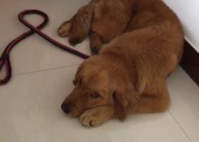 寻狗启示,8.22晚8点到11点 九龙住润二厂附近丢失金毛,它是一只非常可爱的宠物狗狗,希望它早日回家,不要变成流浪狗。