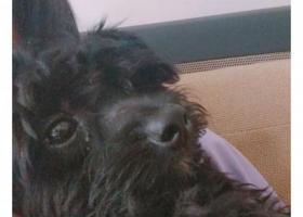 寻狗启示,渝北区回兴街道丢失一只黑色泰迪公的,它是一只非常可爱的宠物狗狗,希望它早日回家,不要变成流浪狗。