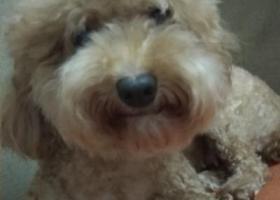 寻狗启示,惠州市,惠阳区,淡水镇,承修二路丢失一条泰迪,它是一只非常可爱的宠物狗狗,希望它早日回家,不要变成流浪狗。