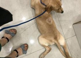 寻狗启示,拉布拉多,2018年8月24号晚上10点45分在大诚苑好又多超市门口走失,它是一只非常可爱的宠物狗狗,希望它早日回家,不要变成流浪狗。