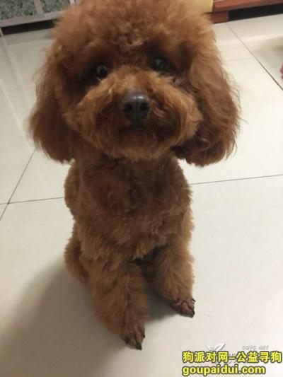 南阳捡到狗,南阳世纪龙捡到一只泰迪狗狗 棕色,它是一只非常可爱的宠物狗狗,希望它早日回家,不要变成流浪狗。