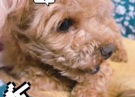 寻狗启示,我家棕色泰迪狗于昨日晚上在交通大学东门走失,它是一只非常可爱的宠物狗狗,希望它早日回家,不要变成流浪狗。